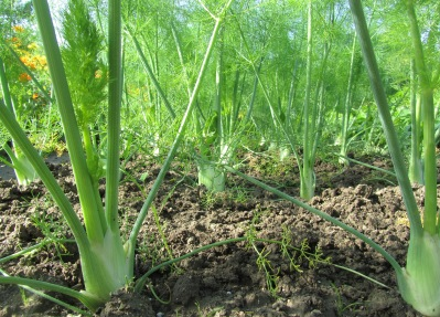 augustus fennel