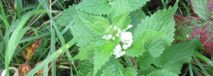08_White_deadnettle